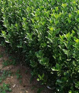 移植冬青树苗之间间距在多少最好?怎么