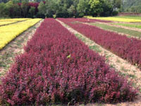 山东苗木基地:红叶小檗价格行情如何