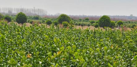 山东大叶黄杨一般培植深度是多少?对栽种