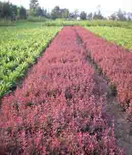 红叶小檗苗