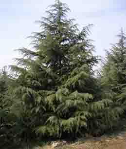 <b>雪松树</b>