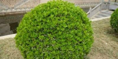 冬青树种植小技巧,了解一下