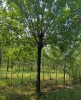 白蜡树有什么特征?