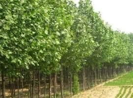 法国梧桐树该怎么种植?