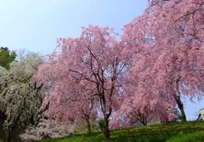 关于樱花树