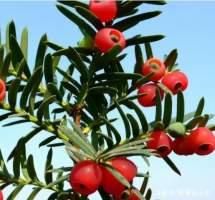 养殖红豆杉的方法及注意事项