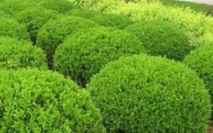 大叶黄杨白粉病防治方法都有哪些?