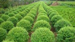 大叶黄杨苗基地:大叶黄杨的秋肥到底有