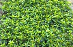 冬青树的作用和功效有哪些?冬青可以清