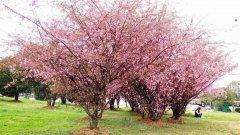 辛庄镇苗木基地:八棱海棠种植技术要点,