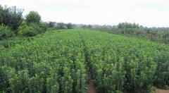 栽种冬青最适宜的时间和气候是什么?