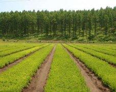 大叶黄杨批发价格,大叶黄杨每平方米价