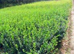 新栽的大叶黄杨球的如何进行高温防护?