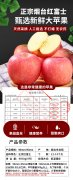 正宗烟台红富士苹果--烟台