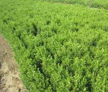大叶黄杨全国分布广泛  耐寒耐阴长得快