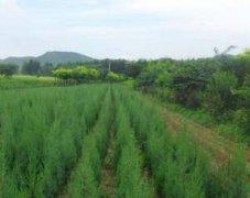 冬青树价格是多少?工程苗木绿化苗木篱笆