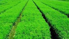 冬青苗的种子怎么选?育苗和种植方法有哪
