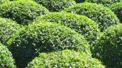 冬青球和冬青苗种植面积最大质量好的地