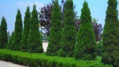 什么植物可以代替围墙呢?家里有围墙的看