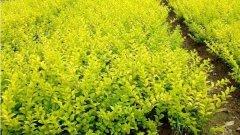大叶黄杨价值有哪些?大叶黄杨有毒吗?2