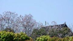 泡桐苗种植基地哪里有?山东梧桐树苗种植