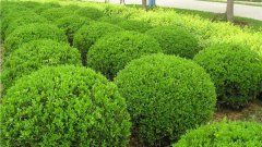 大叶黄杨叶子的厚度是多少?产地在哪?价