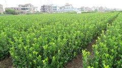 怎样防避大叶黄杨苗的水土流失?