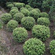 种植冬青球灌水时需要注意什么?