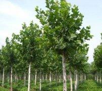 哪些因素会影响法铜(法国梧桐)的生长