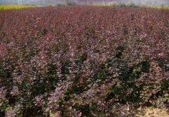 最新红叶小檗批发价格?哪里的红叶小檗质