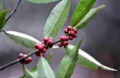 绿化苗木之红豆杉苗多少钱一棵?