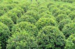 山东绿化苗木之如何培育出优质的冬青球