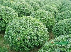 大叶黄杨苗大量批发应该去哪里?