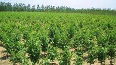银杏树黄化的原因有哪些?如何拯救?