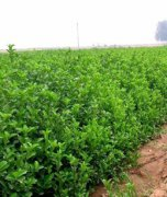冬青球大叶黄杨主要特点以及园林应用好