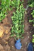 大叶黄杨苗栽种前后要注意什么?