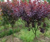 15-20公分紫叶李苗木价格