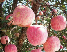 烟台红富士苹果树价格表