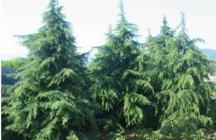 雪松树价格_图片