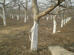 冬天苗木树干为什么涂白色?