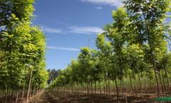 白腊绿化苗木日常如何维护