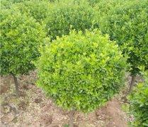 如何培养大叶黄杨绿篱苗小毛球的冠幅?