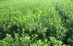 小叶黄杨是常绿植物吗