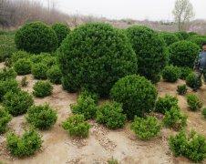 大叶黄杨苗木是草本还是木本植物?