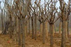 白蜡树可以嫁接什么树?