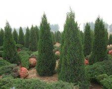 龙柏地接和掘接的种植方法优秀在哪里