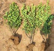 大叶黄杨苗木长势弱发育不良原因是什么