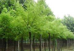 白蜡和对节白蜡是同一种苗木树种吗?