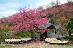 樱花树苗的市场价格是多少?