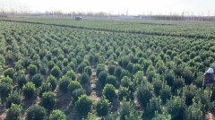 山东大叶黄杨:黄杨和大叶黄杨是同一种苗